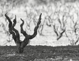 Toni Sanchis- Tema: Viñas